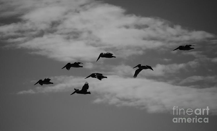 Pelicans Photograph - Homeward by Jeni Gray
