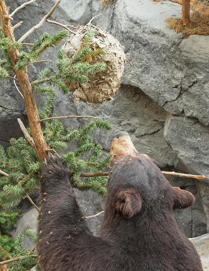 Honey Bear by John Bates