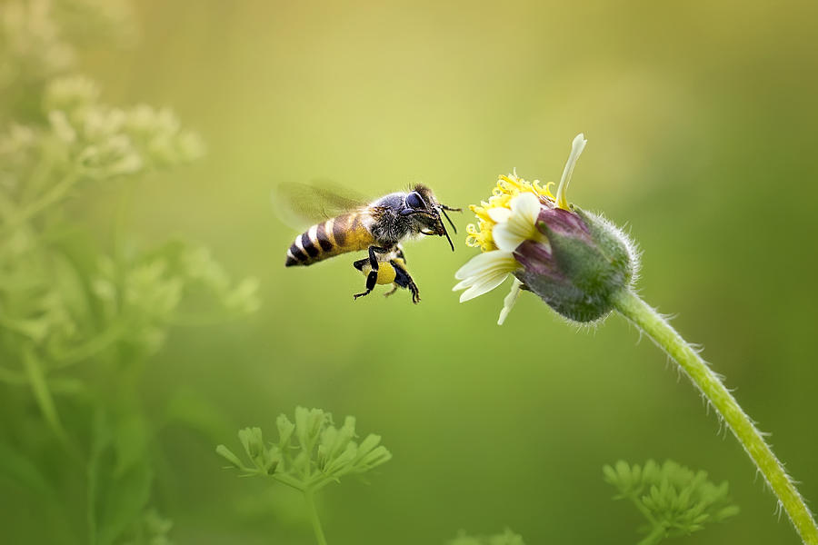 Macro Photograph - Honey Bee by Fauzan Maududdin