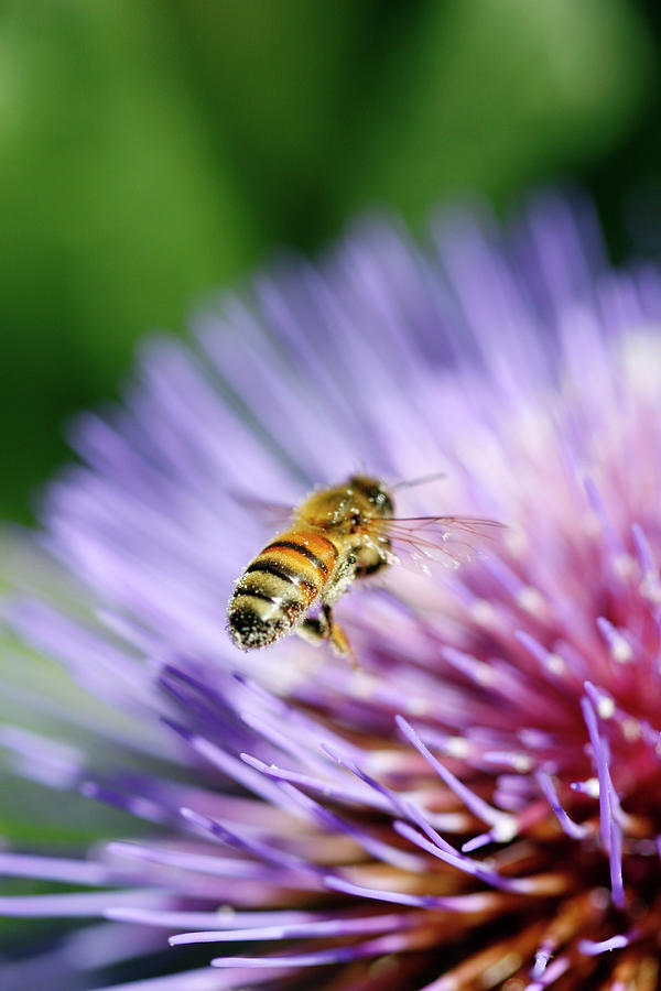 Honey Bee Photograph by Filo
