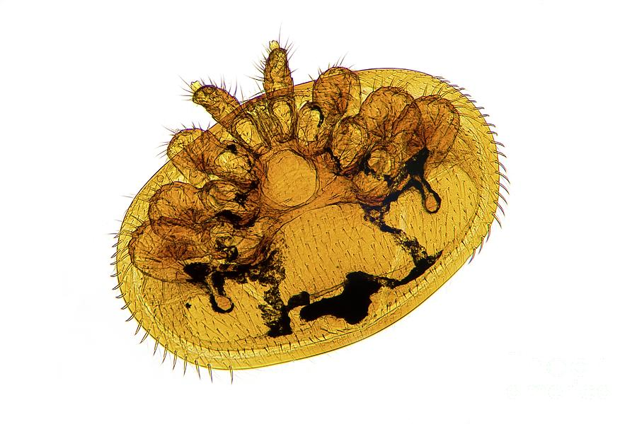 Animal Photograph - Honey Bee Mite by Dr Keith Wheeler/science Photo Library