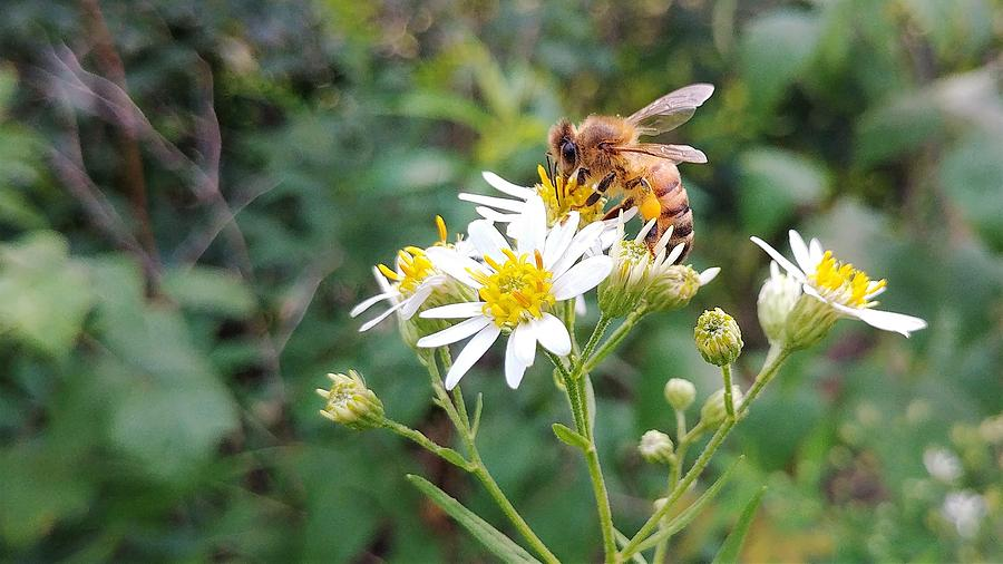 Bee Photograph - Honey Bee on Aster Flowers by Better Planet