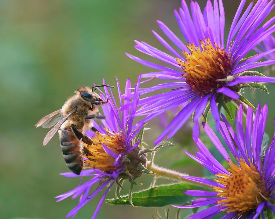 Honey Bee on Aster by David Lamb