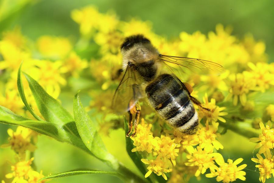 Canadian Goldenrod Photograph - Honey Bee On Goldenrod Wildflower by Iris Richardson