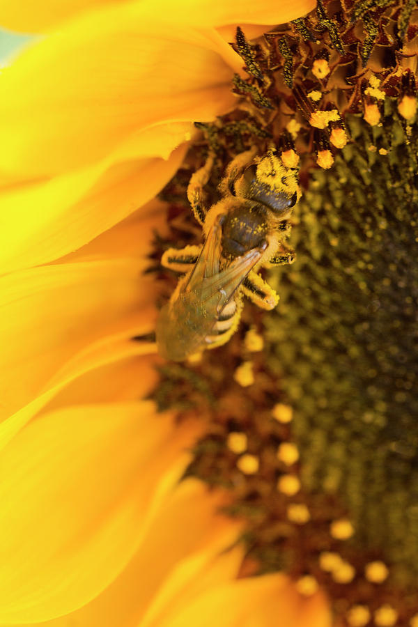 Sunflower Photograph - Honey Bee On Sunflower by Iris Richardson