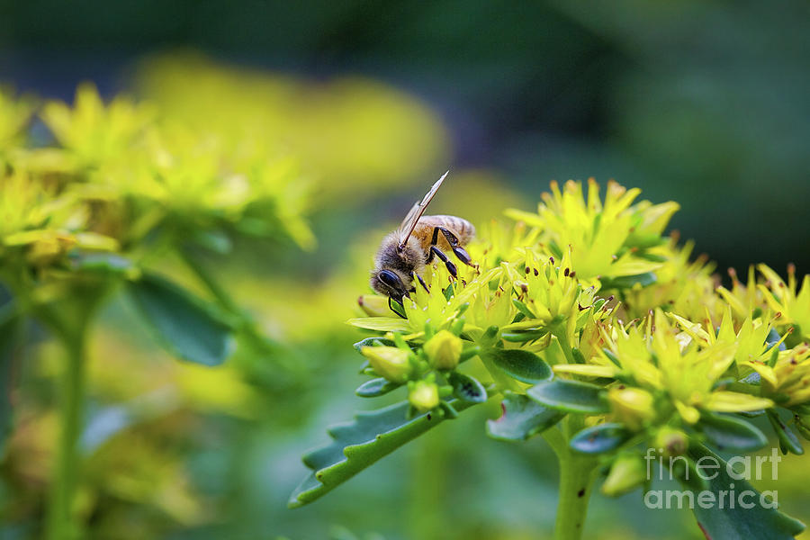 Honey Bee On Yellow Flower by Sharon McConnell