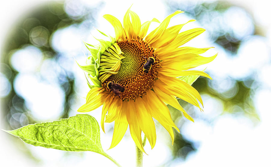Honey Bees On Sunflower Photograph
