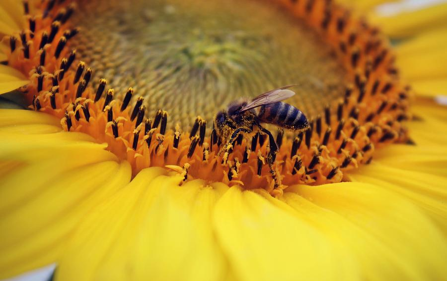 Sunflower Photograph - Honey by Candice Trimble