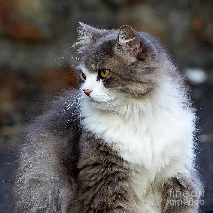 Honey Eyed Gray and White Long Hair Cat by Pablo Avanzini