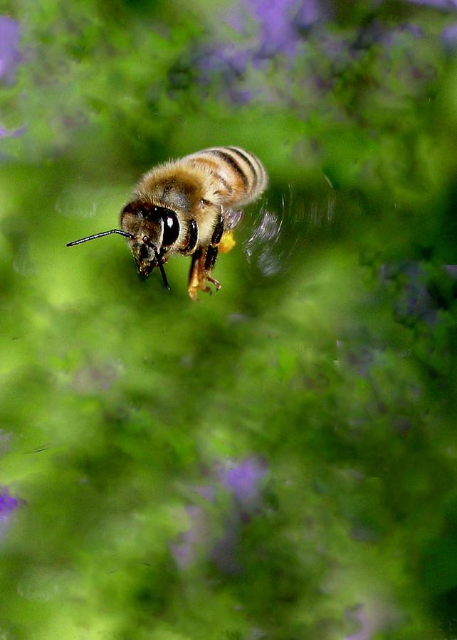 Honeybee In Flight by Sarah Lilja