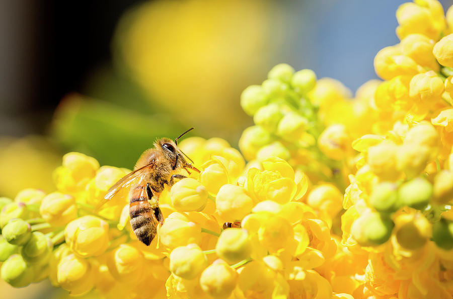 Honeybee Photograph by Mauro grigollo