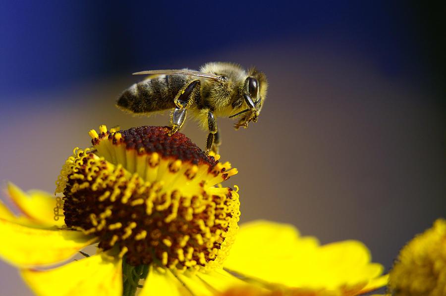 Honeybee On A Yellow Flower Photograph by Schnuddel