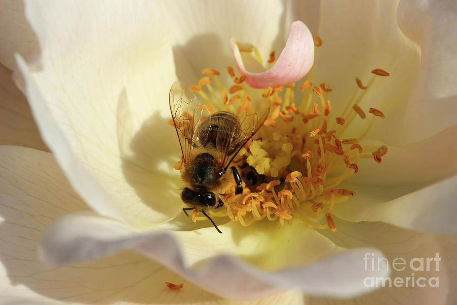 Honeybee on White Rose by Karen Adams