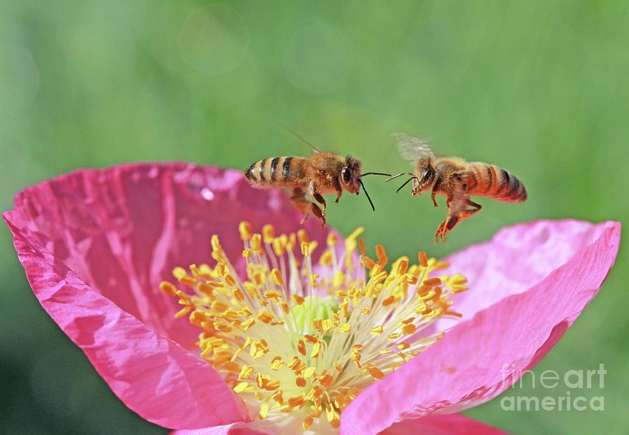 Honeybees Photograph - Honeybees by Gary Wing
