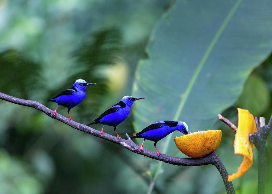 Hummingbird Photograph - Honeycreeper Buffet Line by Betsy Knapp