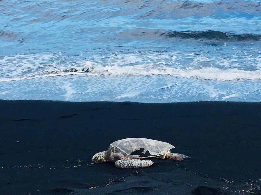 Honu Hawaiian Green Sea Turtle resting on Pohoiki Beach in Punaluu Hawaii  by Lehua Pekelo-Stearns