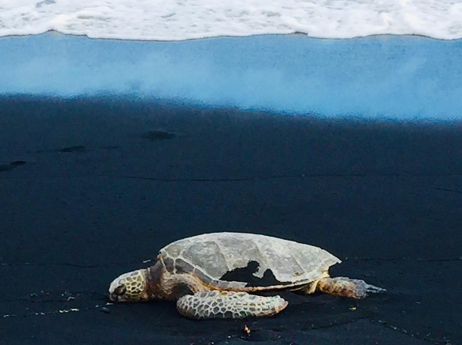 Honu rests on the black sands of Pohoiki after a long Ocean swim by Lehua Pekelo-Stearns