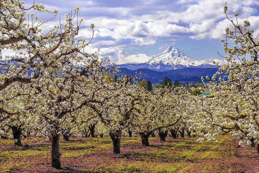 Hood River Orchard by Patrick Campbell