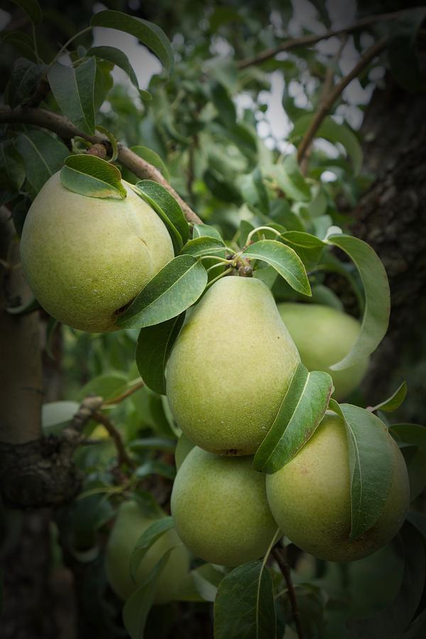 Hood River Pears by Vinnie Oakes