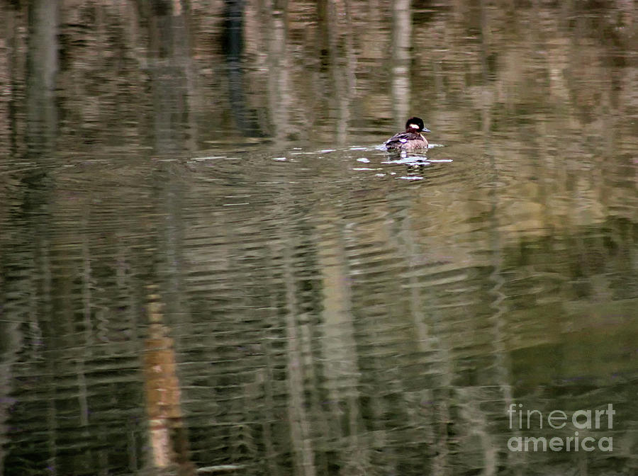 Hooded Merganser Duckling by Karen Adams