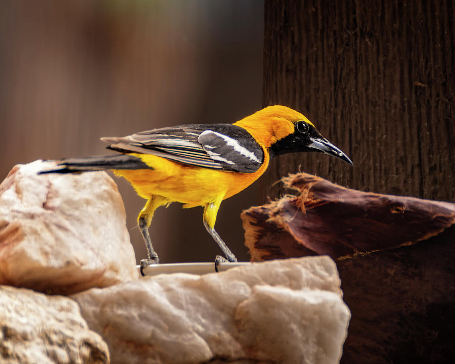 Hooded Oriole H1913 Photograph