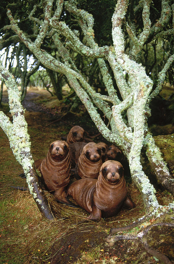 Hooker's Sea Lion Pup in Rata Forest by Tui De Roy