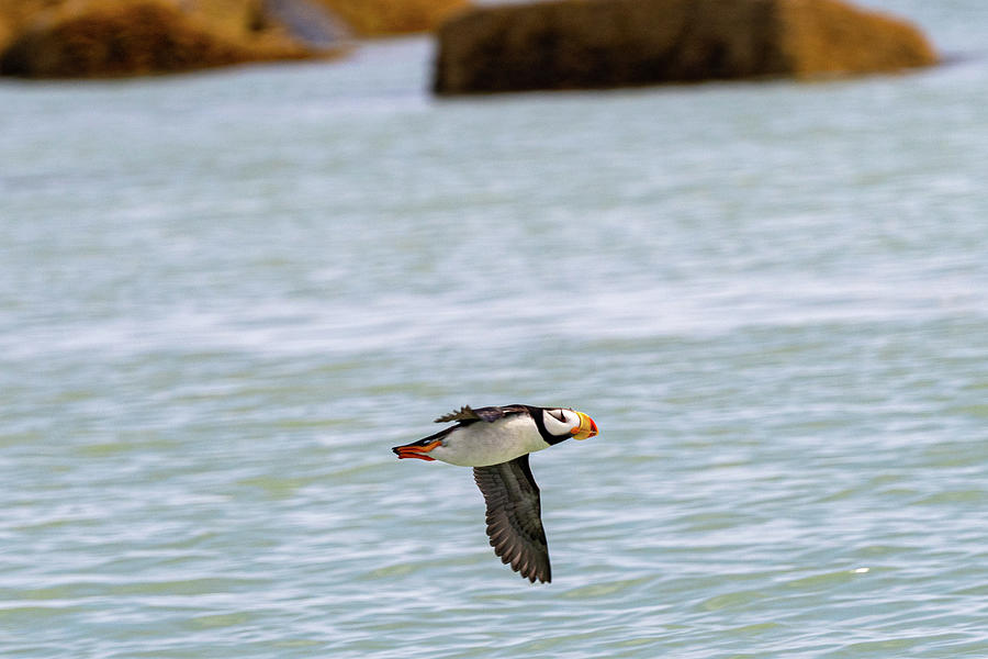 Horned Puffin in Flight in Hallo Bay by Mark Hunter