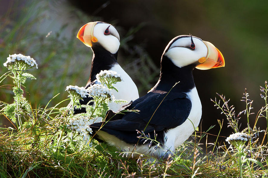 Horned Puffins, Lake Clark National Photograph by Mint Images/ Art Wolfe