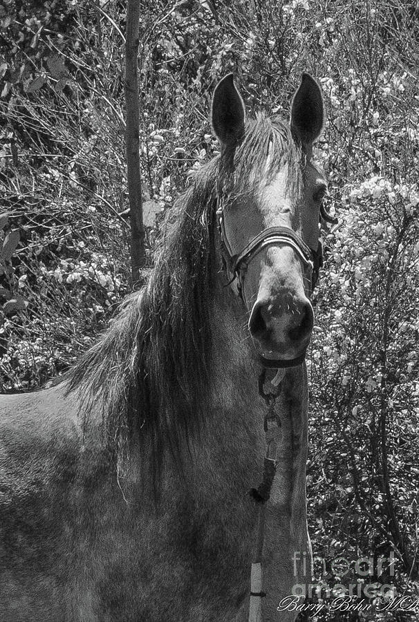 Horse  BW by Barry Bohn