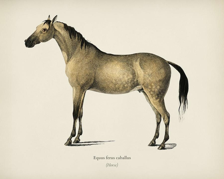Animal Painting - Horse  Equus Ferus Caballus  Illustrated By Charles Dessalines D Orbigny  1806-1876  by Celestial Images