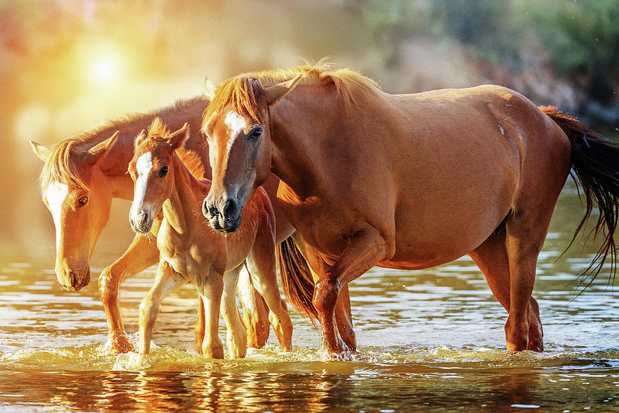 Equine Photograph - Horse Family Walking In Lake At Sunrise by Susan Schmitz