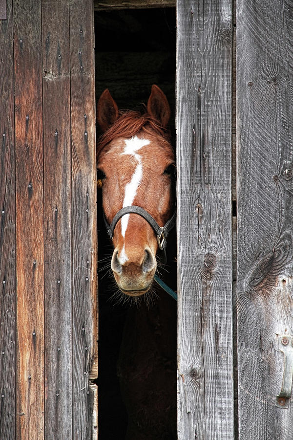 Horse Peeking Out Of The Barn Door Photograph by 2ndlookgraphics