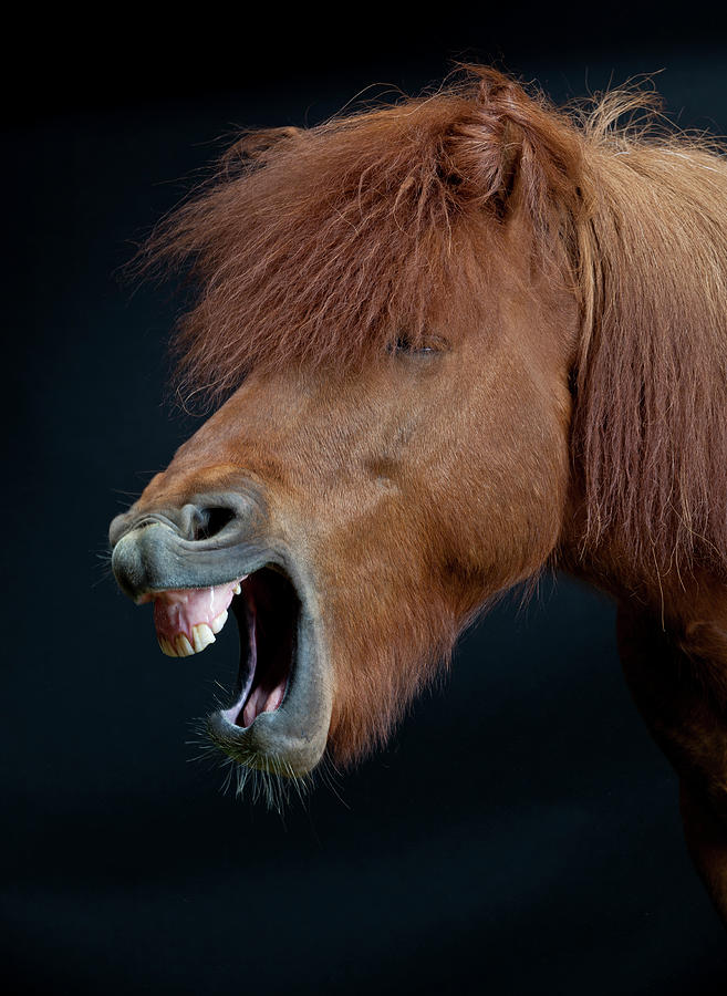 Horse Showing Teeth, Laughing Photograph by Arctic-images