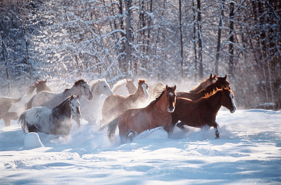 Horses Equus Caballus Running In Snow Photograph by Art Wolfe
