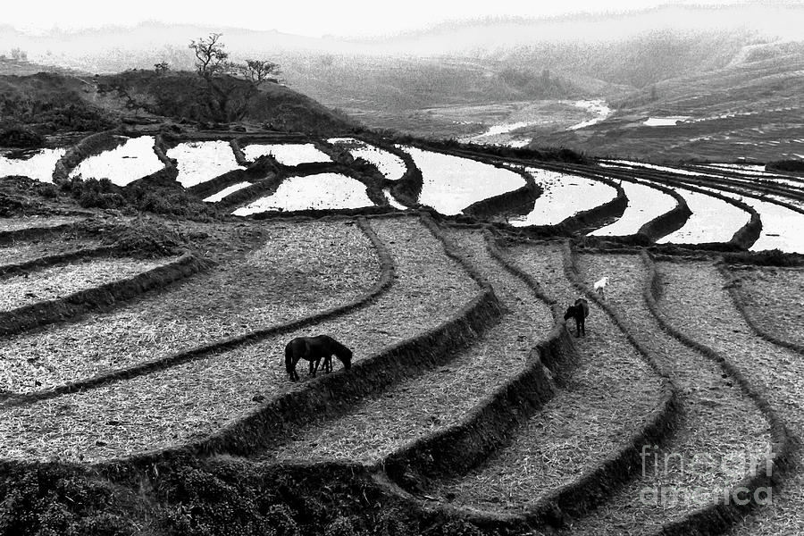Horses on rice paddies in Northern Vietnam by SILVA WISCHEROPP