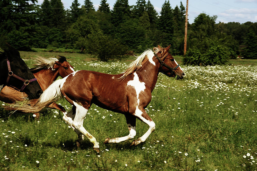 Horses Running Through A Daisy Field Photograph by Kevinruss