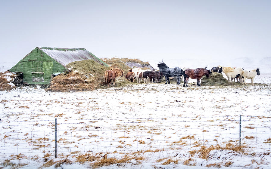 Iceland Photograph - Horses Sheltering by Framing Places
