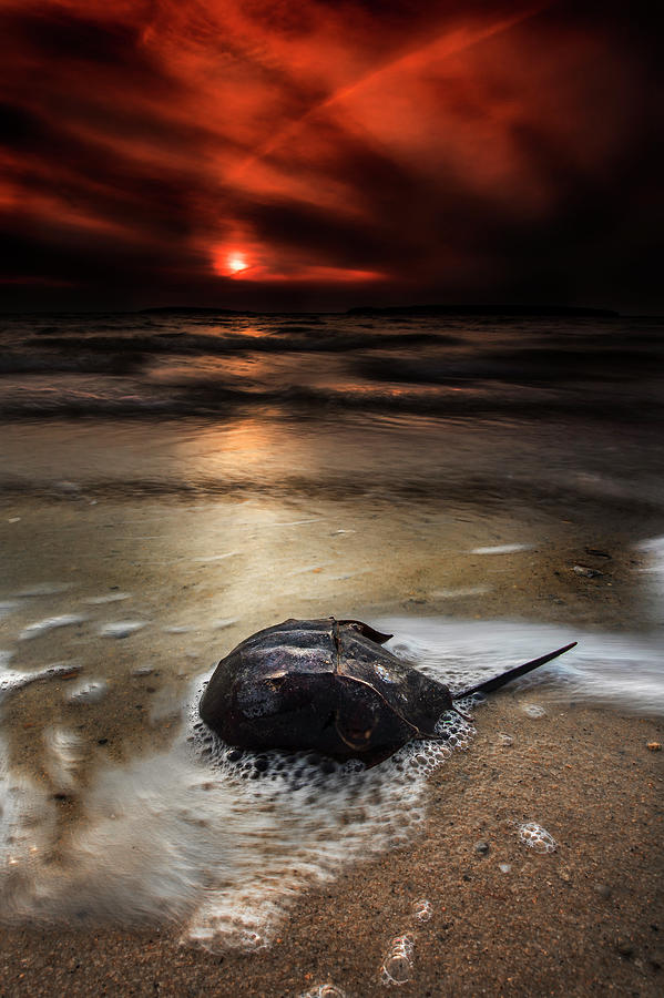Horseshoe Crab and Sunset by Dapixara Art