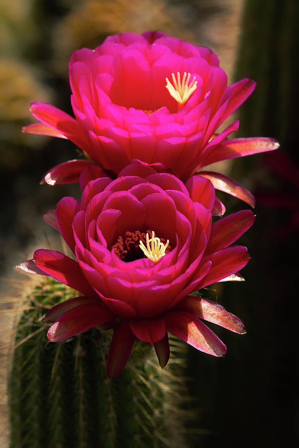 Hot Pink Torch Cactus  by Saija Lehtonen