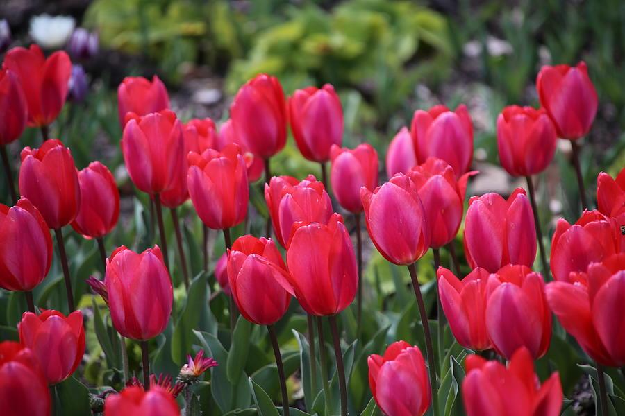 Tulip Photograph - Hot Pink Tulip by Alina Avanesian