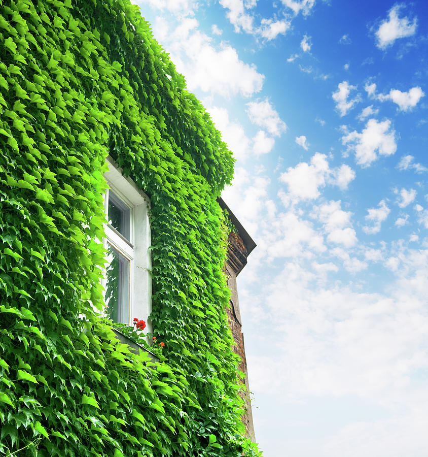 House Covered With Green Ivy Foliage Photograph by Spooh