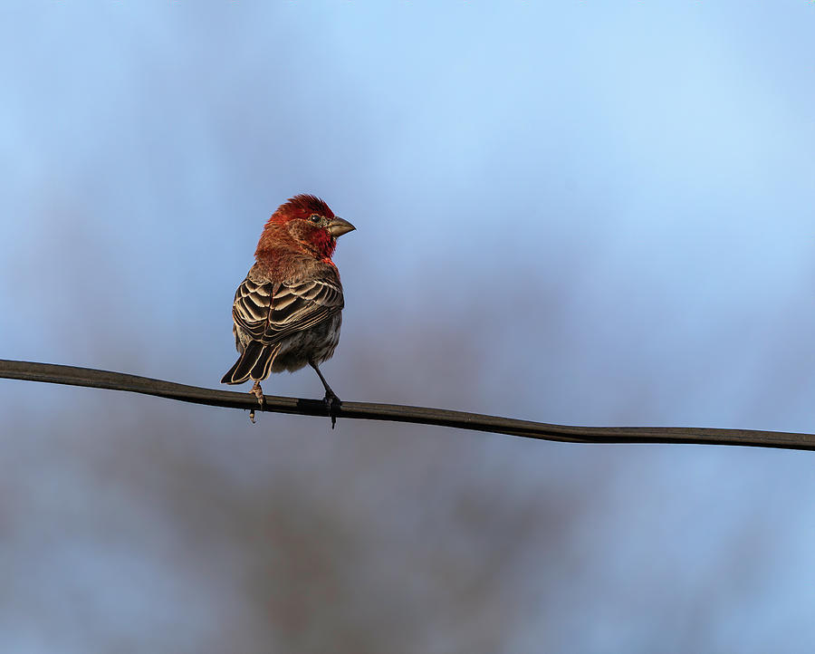 House Finch 2019-1 by Thomas Young