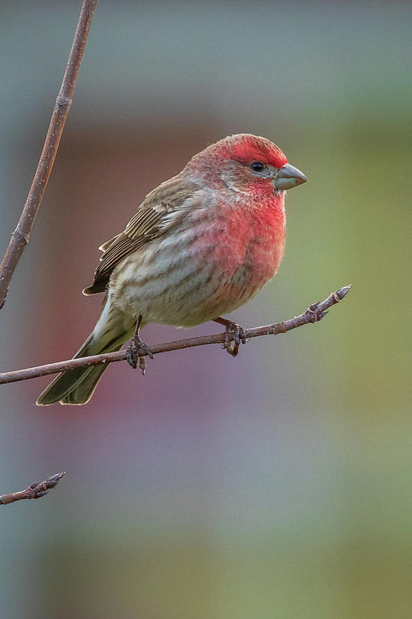 House Finch by Allin Sorenson