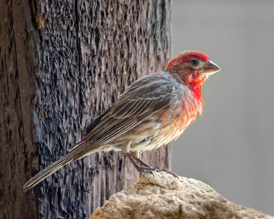 House Finch h1938 by Mark Myhaver