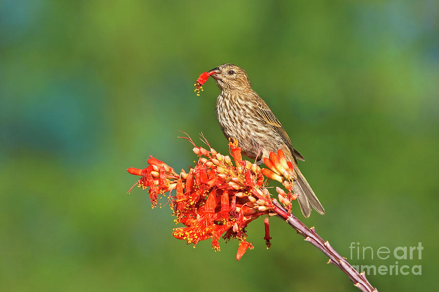 house finch on flowering ocotillo arizona by Dave Welling
