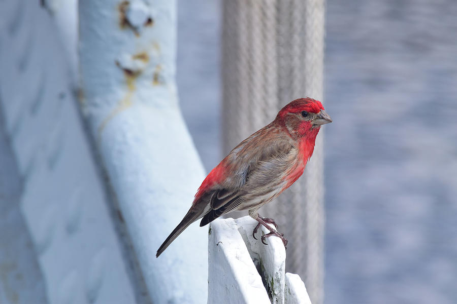 House Finch on the U.S.S. Wisconsin by Nicole Lloyd