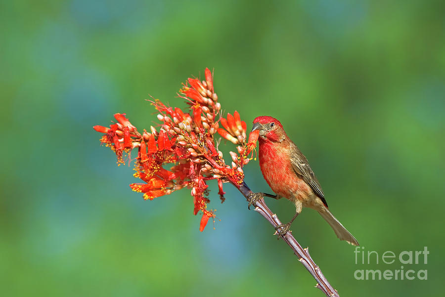 house finch on wildflowers arizona  by Dave Welling