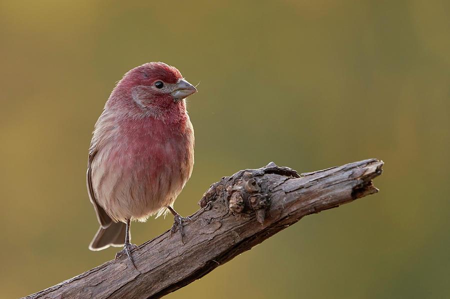 Birds Photograph - House Finch, Sacramento County California by Doug Herr