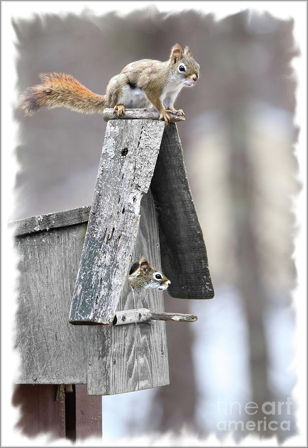 House Hunting Red Squirrels by Sandra Huston