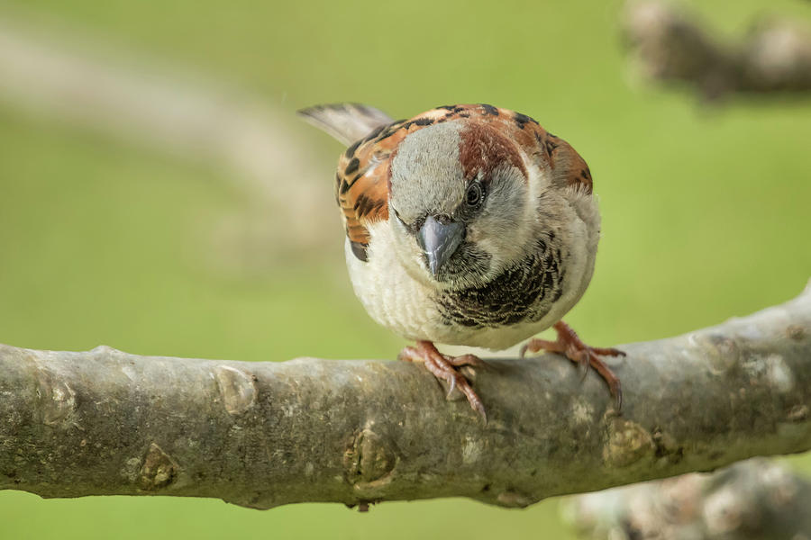 House Sparrow Giving Me the Eye by Belinda Greb